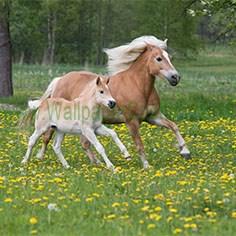 kuda 002